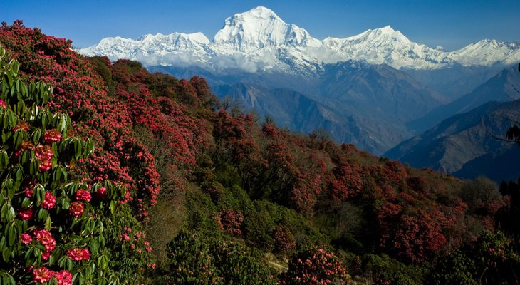 En route to Poon Hill Ghandruk trek get excellent view of blossoming rhododendron and mount Dhaulagiri.