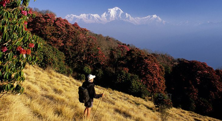 Poon Hill Short Trek- rhododendron forest and Mount Dhaulagiri on way to Poon Hill viewpoint