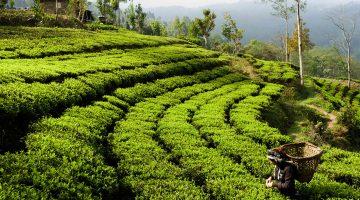 Organic tea garden in Ilam