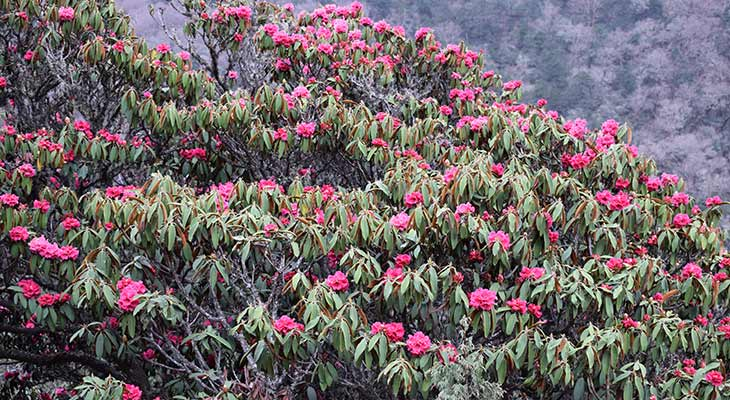 Pikey peak route is color with flourished Rhododendron forest