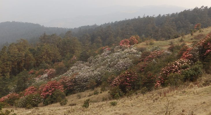 Mesmerizing-rhododendron-forest-in-pikey-peak-to-Everest-base-camp-trek