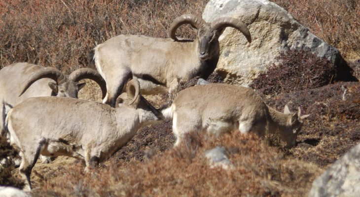 spot-blue-sheep-on-Manaslu-and-tsum-valley-trek-