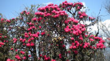 Flourished rhododendron forest along Milke Danda Rhododendron Trek
