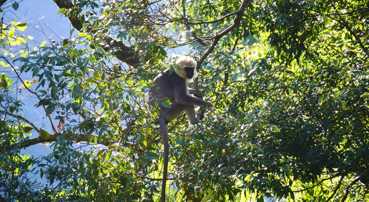 Gray langur spot in the tropical forest near to Lama Hotel on the short langtang valley trek